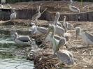 Гнездилището на къдроглавите пеликани