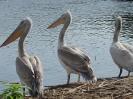 Почивка на къдроглави пеликани