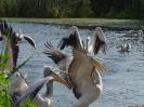 Спорещи къдроглави и розови пеликани