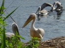 Среща на розов и къдроглав пеликан