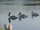 Млади и възрастни къдроглави пеликани на разходка