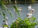 Постигнати са мирни преговори между къдроглави и розови пеликани