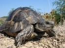 Шипоопашата костенурка