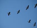 Големи белочели гъски в полет
