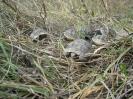 Шипоопашати костенурки